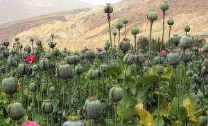 Plantación de opio en Afganistán.