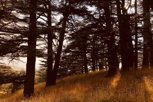 Líbano Cedro Bosque